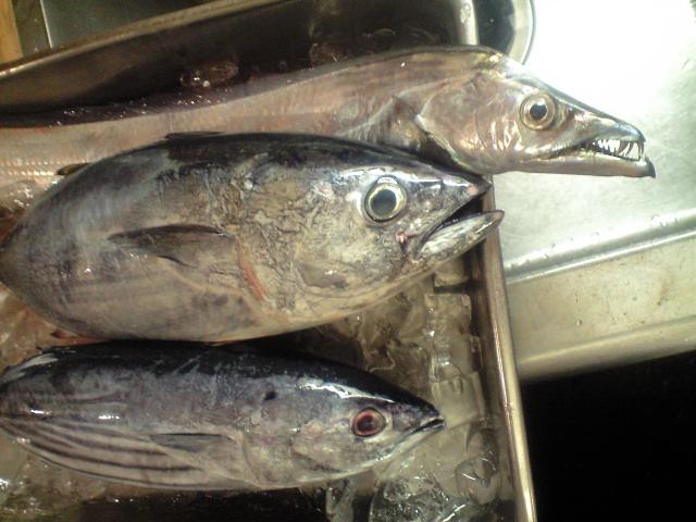 本日の鮮魚+ハトヤ
