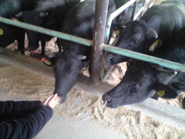 あしたか牛